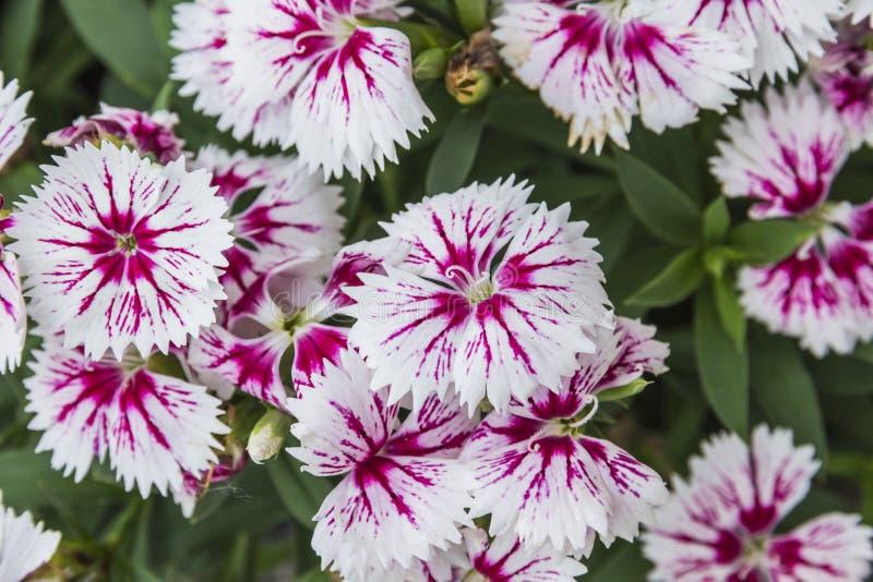 Plan rapproch? des fleurs chinensis d'oeillet rose photos stock