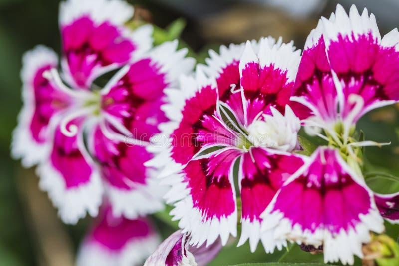 Plan rapproch? des fleurs chinensis d'oeillet rose images stock