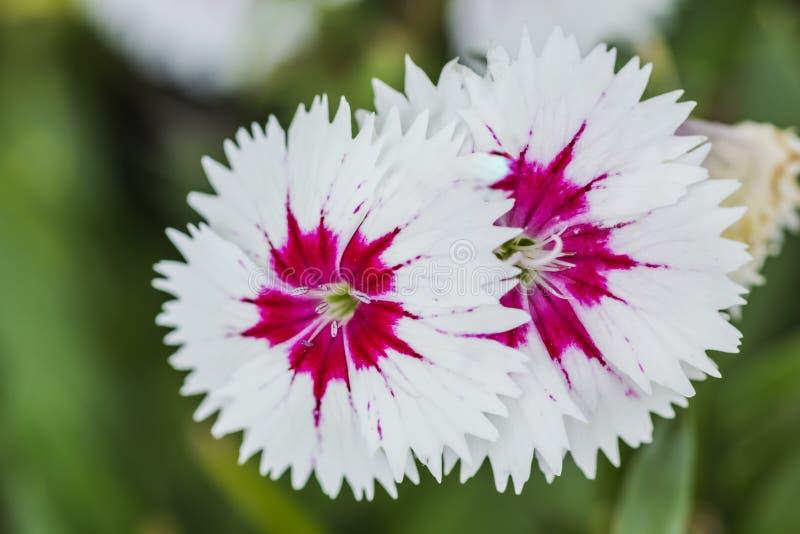 Plan rapproch? des fleurs chinensis d'oeillet rose photos libres de droits