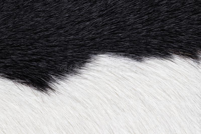 Plan rapproch? du fond en cuir de texture de vache noire et blanche ? fourrure Macro de peau de vache photos libres de droits