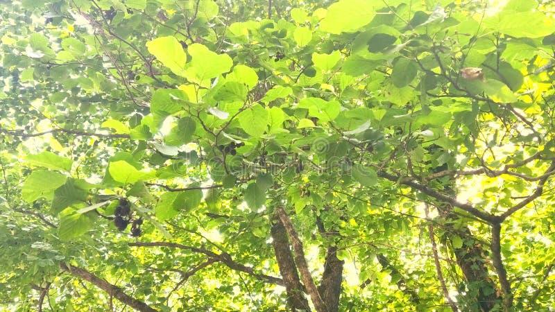 Plan rapproch? M?res non m?res m?res et rouges noires sur la branche Un homme reste sur un stepladder Baies saines photo libre de droits
