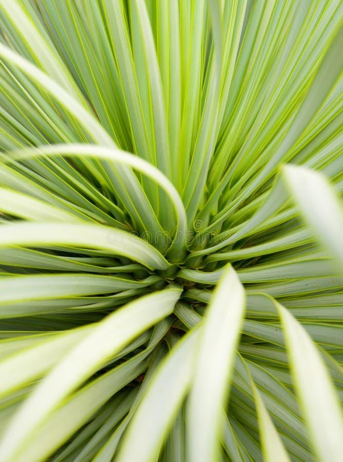 Plan rapproch?, ?pine et d?tail succulents d'usine de yucca sur des feuilles de yucca de Narrowleaf photographie stock libre de droits