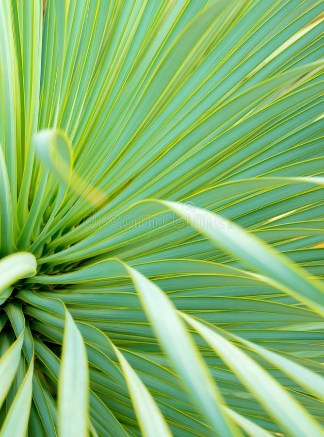 Plan rapproch?, ?pine et d?tail succulents d'usine de yucca sur des feuilles de yucca de Narrowleaf photo libre de droits