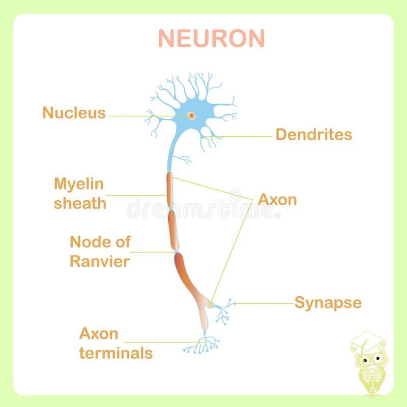 Plan typowa anatomia neuronu struktura dla edukacja szkolna zapasu wektoru ilustraci ilustracja wektor