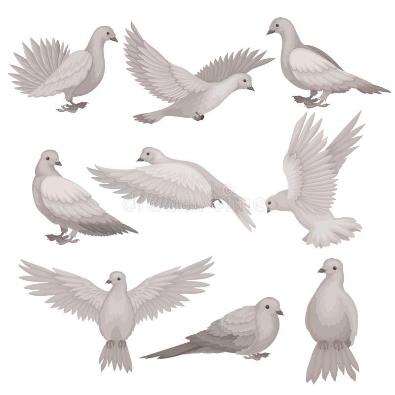 Plan vektoruppsättning av duvan Fågel med det lilla huvudet, korta ben och gråa fjädrar Flygvarelse Djurliv- och faunatema stock illustrationer
