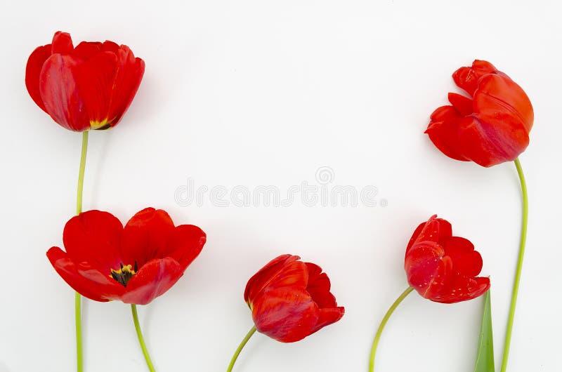 Plana lekmanna- röda vallmoblommor på vit bakgrund Blomningvallmo för bästa sikt fotografering för bildbyråer