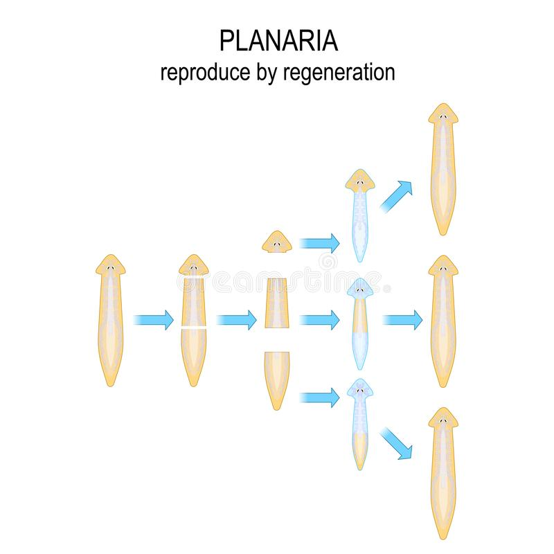 Free Planaria. Reproduce By Regeneration Stock Photography - 152094292