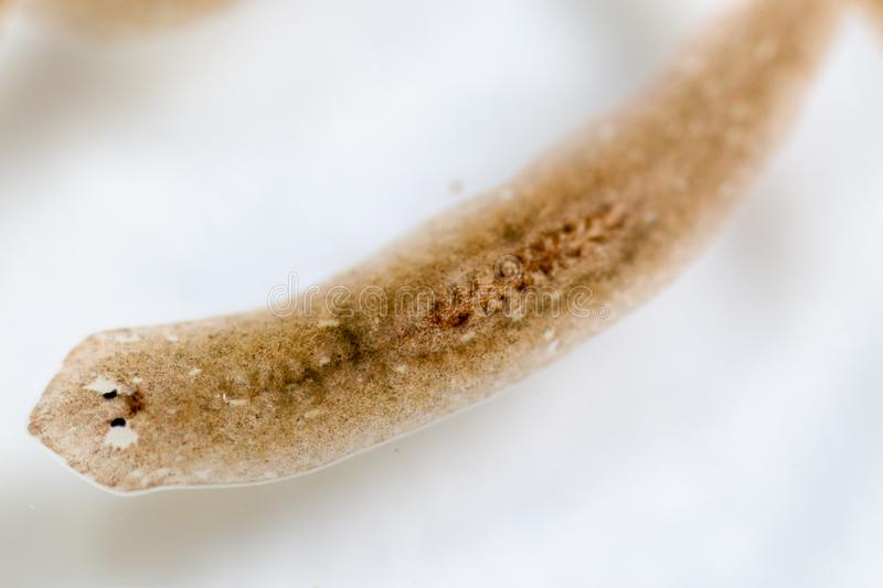 Planarian parasite flatworm under microscope view. Planarian parasite flatworm under microscope view for education royalty free stock photography