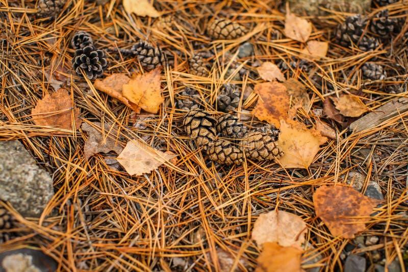 Plancher de forêt de chute des aiguilles de pin, des cônes et des écorces sèches d'arbre Vue supérieure des ordures sèches de for photo libre de droits