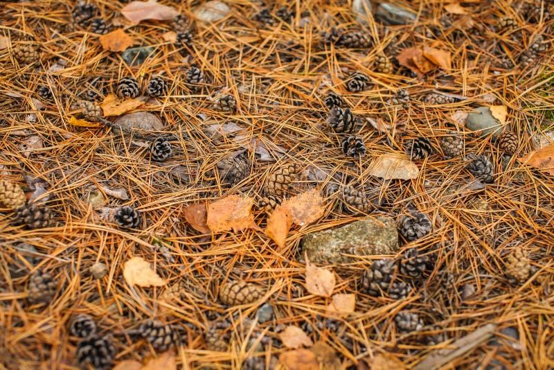 Plancher de forêt de chute des aiguilles de pin, des cônes et des écorces sèches d'arbre Vue supérieure des ordures sèches de for photos libres de droits