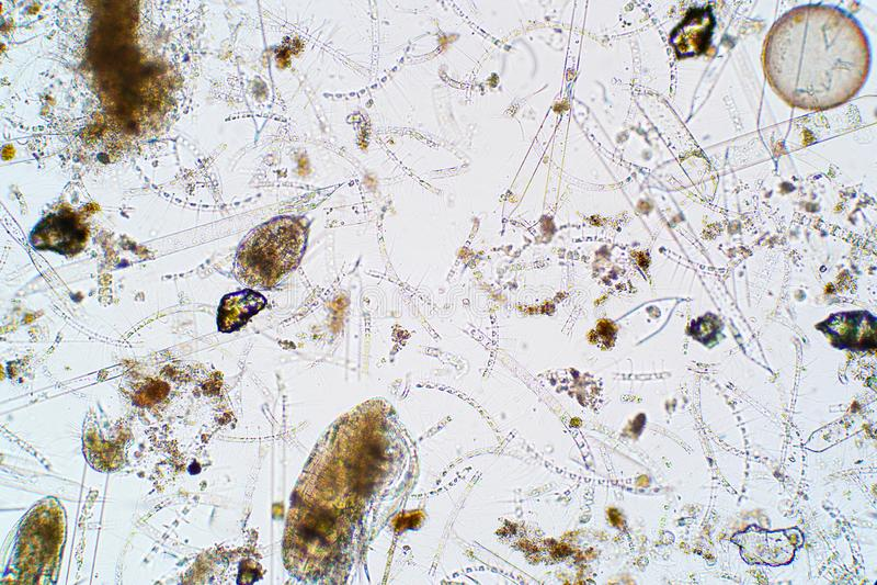 Plancton acquatico marino nell'ambito della vista del microscopio immagini stock