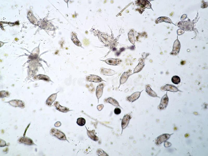 Plancton acuático de agua dulce fotos de archivo