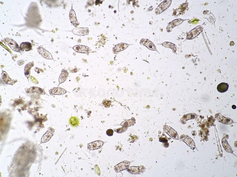 Plancton aquatique d'eau douce photo libre de droits
