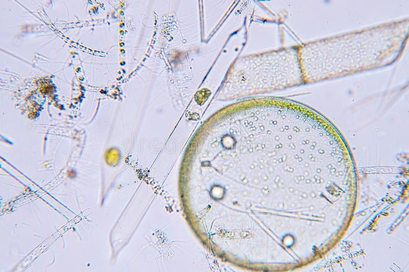 Plancton aquatique marin sous la vue de microscope images libres de droits