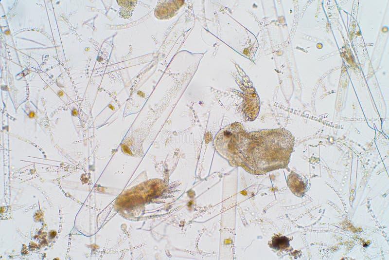 Plancton aquatique marin sous la vue de microscope image stock