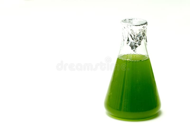 Plancton ou culture marin de micro-algues dans le flacon d'Erlenmayer dedans photo libre de droits