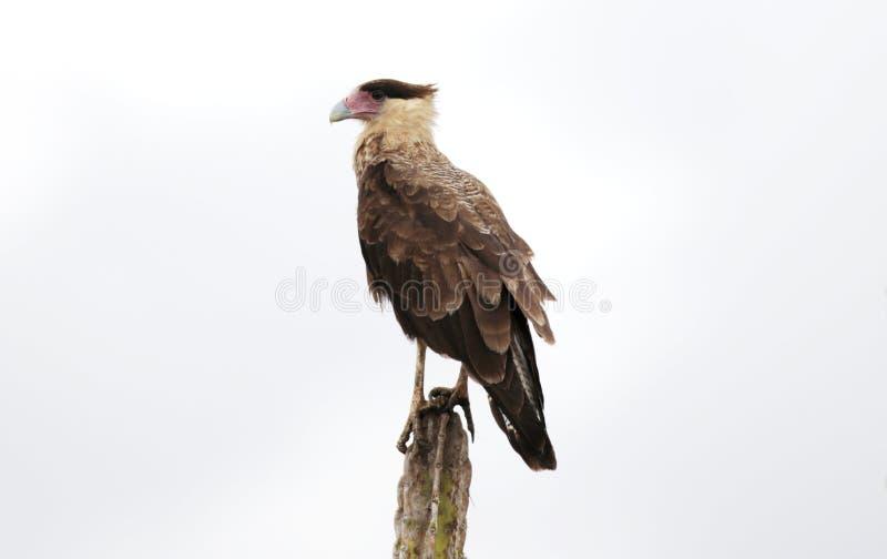 Plancus de caracara d'oiseau photographie stock