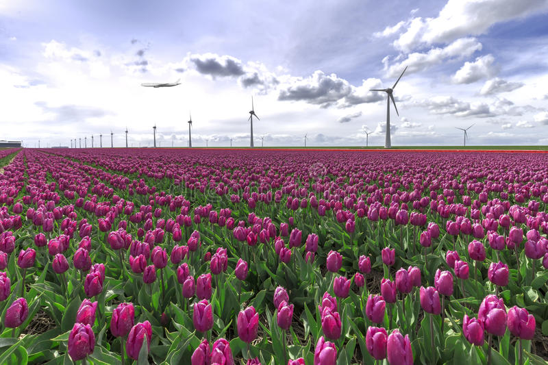 A plane flying on an pink tulip bulb farm royalty free stock photo