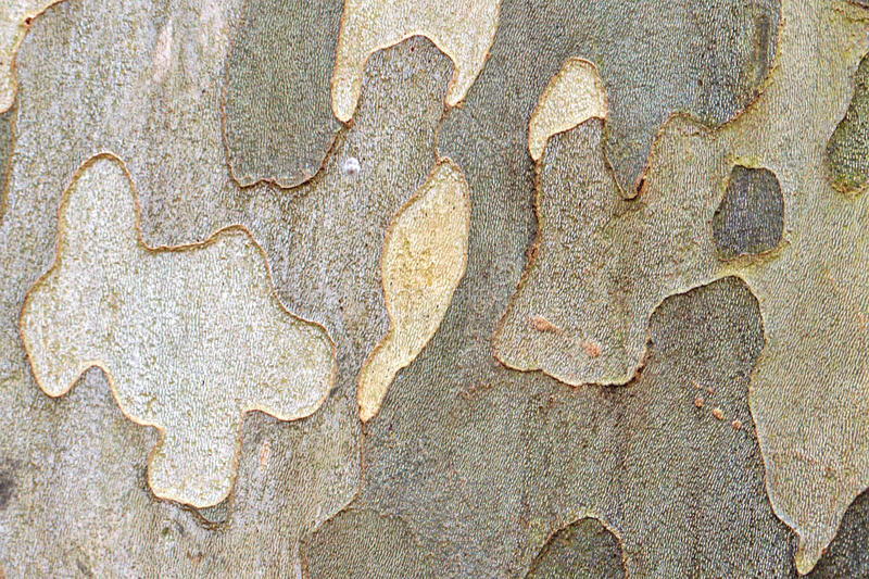 Plane (sycamore) tree bark royalty free stock images