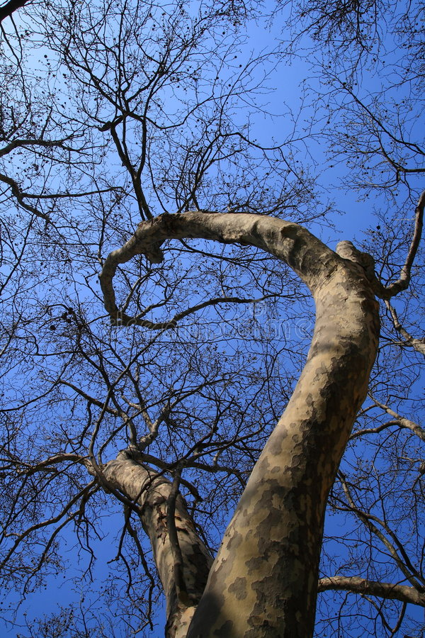 plane tree royalty free stock images