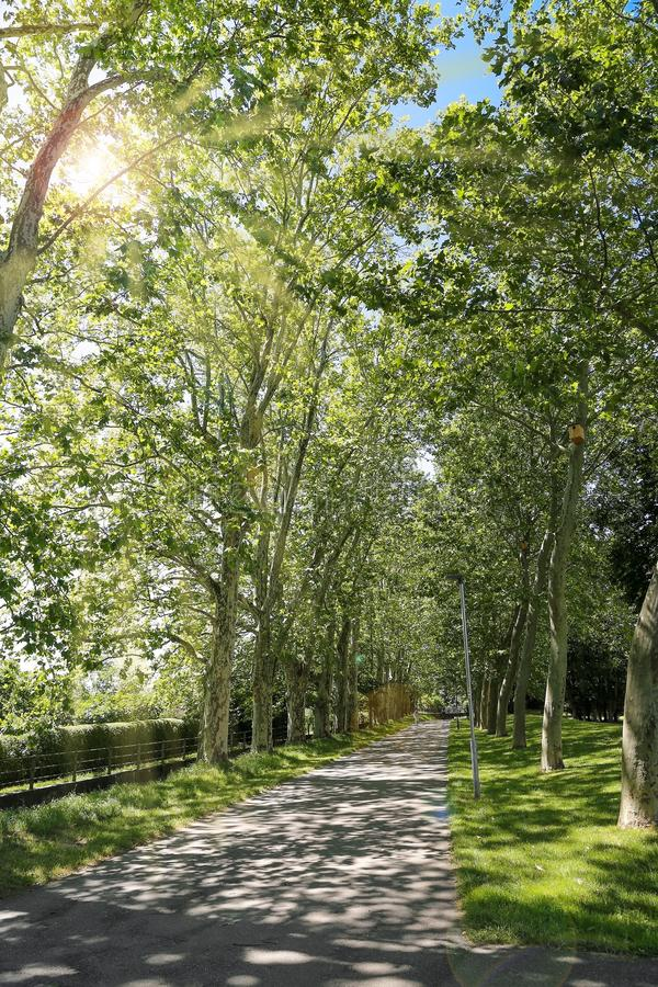 Plane tree alley with bicycle path. The formerly busy road is now a beautiful bike path with plane tree alley in Müllheim, Baden stock photo