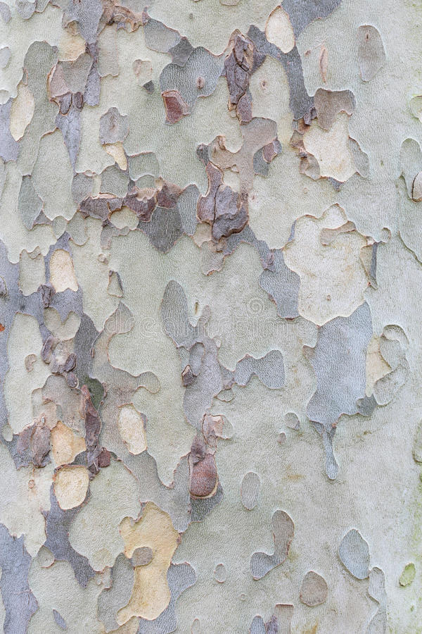 Plane tree bark texture royalty free stock image