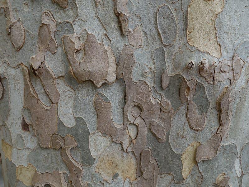 Plane tree bark. Textured surface of the plane tree bark background royalty free stock image