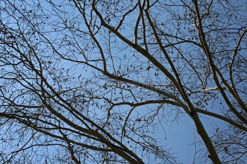 PLANE TREE BRANCHES IN WINTER royalty free stock photography
