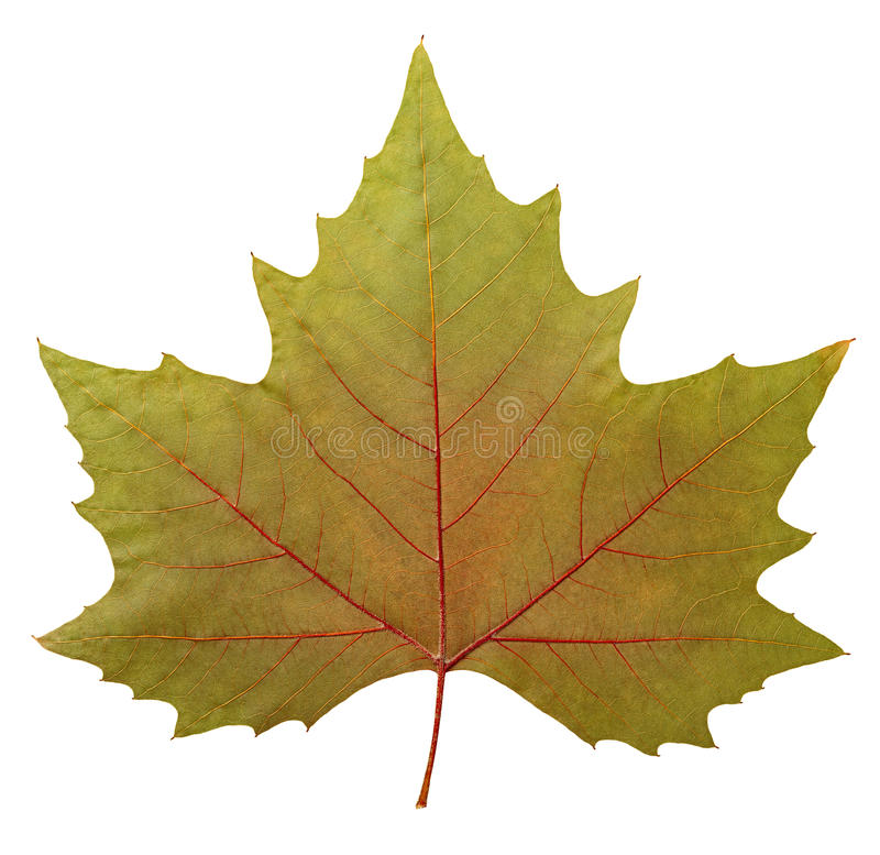 Download Plane tree leaf stock photo. Image of background, germany - 26010004
