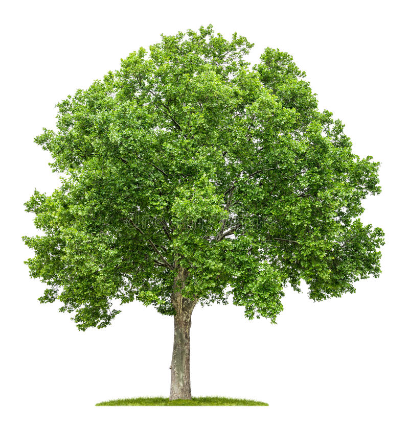 Free Plane Tree On A White Background Stock Image - 41843261