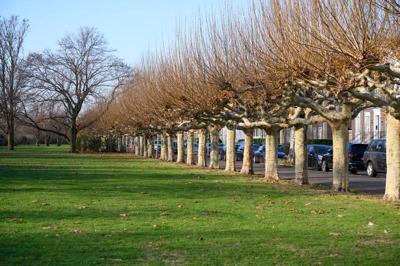 Bare plane trees on Alley near River Rhine in Dusseldorf in winter stock photography