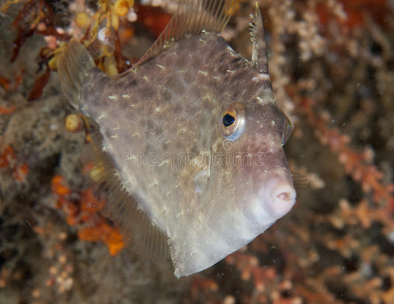 Planehead Filefish. Stephanolepis hispidus, picture taken near bridge abutment in Palm Beach County Florida stock images