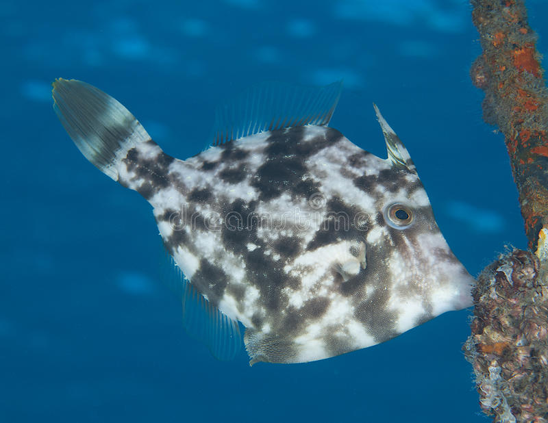 Planehead Filefish. Stephanolepis hispidus, picture taken under a mooring in Palm Beach County Florida royalty free stock photo
