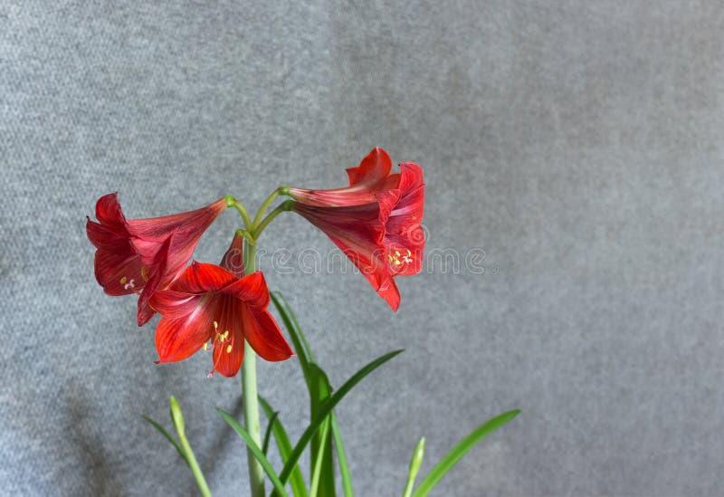 Planes de Amaryllis de la flor diversos foto de archivo