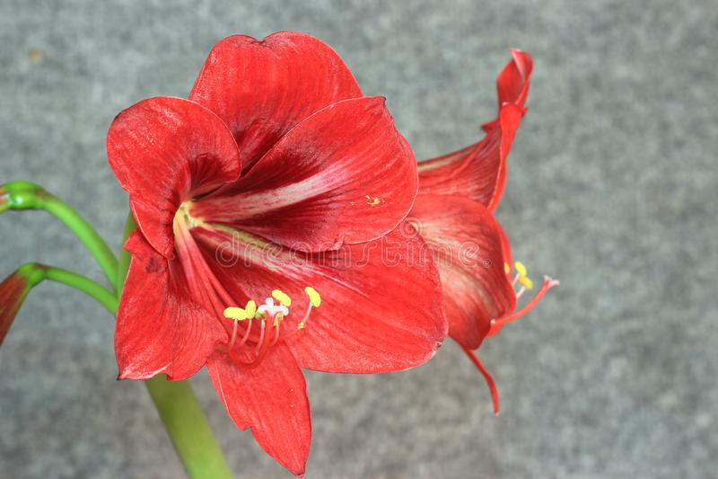 Planes de Amaryllis de la flor diversos imágenes de archivo libres de regalías