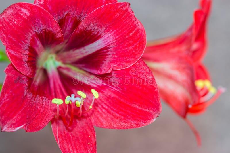 Planes de Amaryllis de la flor diversos fotos de archivo
