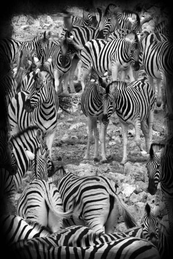 Planes Zebra - Etosha National Park - Namibia royalty free stock photography