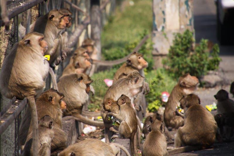 Planet von Affen - große Gruppe Affen Macaca fascicularis, die auf einem railingat Bahnhof in Lopburi, Thailand sitzen stockfotos