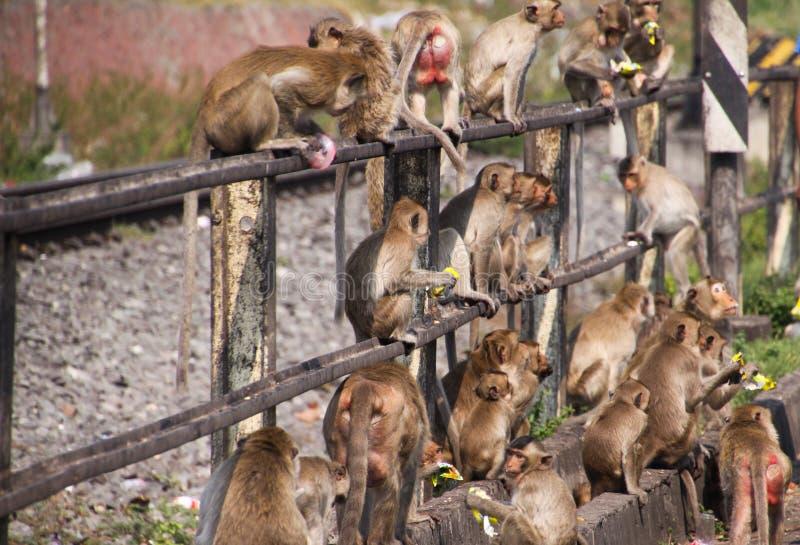 Planet von Affen - große Gruppe Affen Macaca fascicularis, die auf einem railingat Bahnhof in Lopburi, Thailand sitzen stockfoto