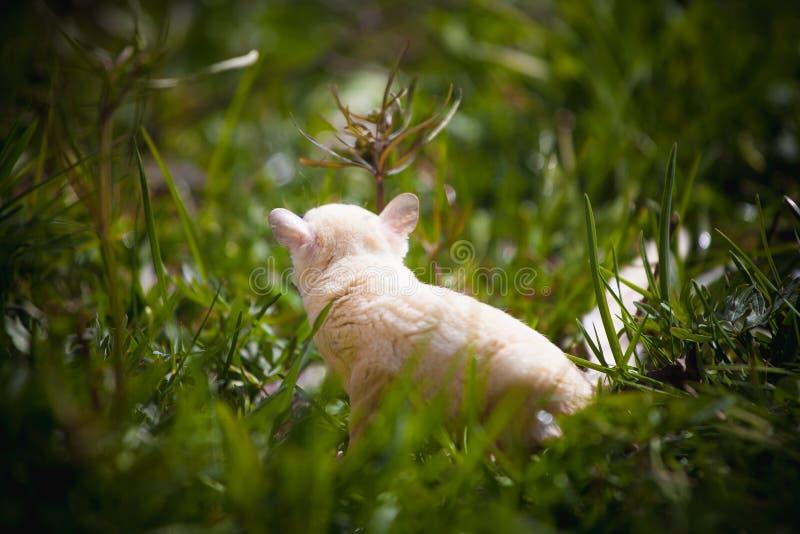 Planeur de sucre blanc, breviceps de Petaurus, sur l'herbe images libres de droits