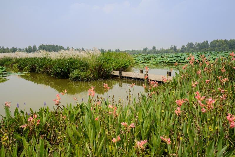 Planked-Fußweg in blühenden hydrophytes am sonnigen Sommertag lizenzfreie stockbilder