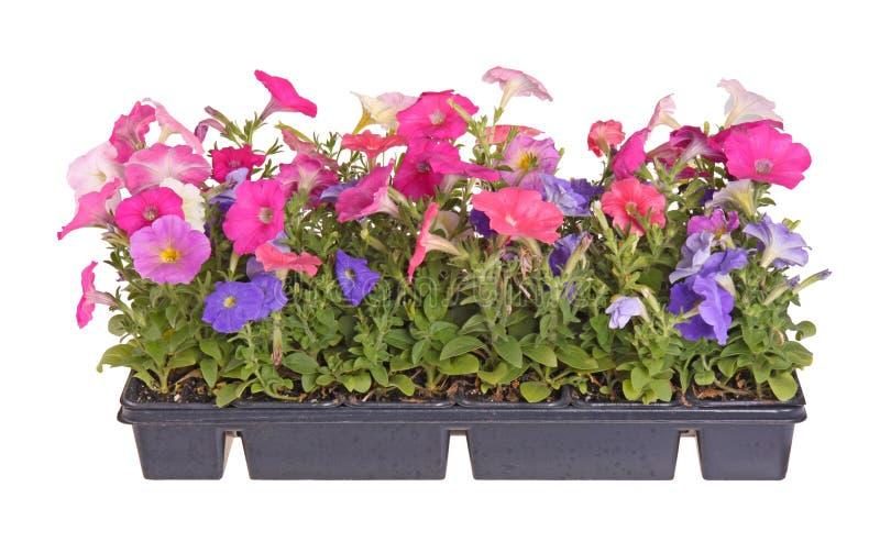 Plano de las plantas de semillero coloridas del trasplante de la petunia fotos de archivo libres de regalías