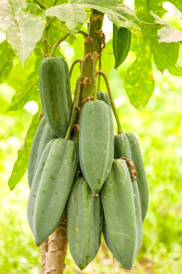 Plantón de frutal de Babaco fotografía de archivo