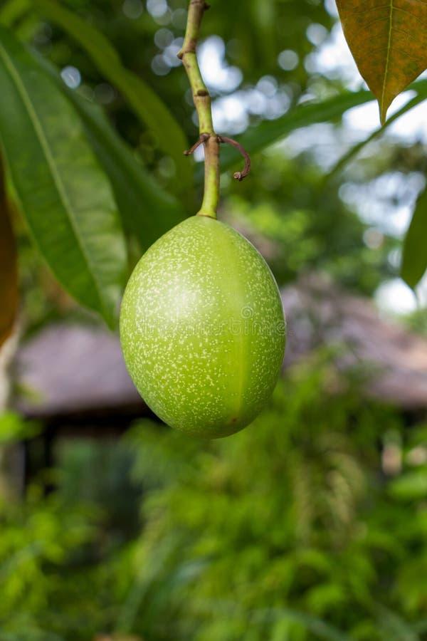 Download Plantón De Frutal Verde Fresco Del Mango Afuera En Verano Imagen de archivo - Imagen de jugo, colgado: 41909353