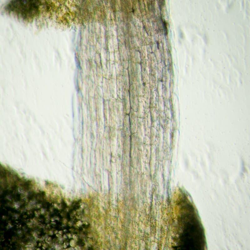 Plant arabidopsis thaliana root royalty free stock photos