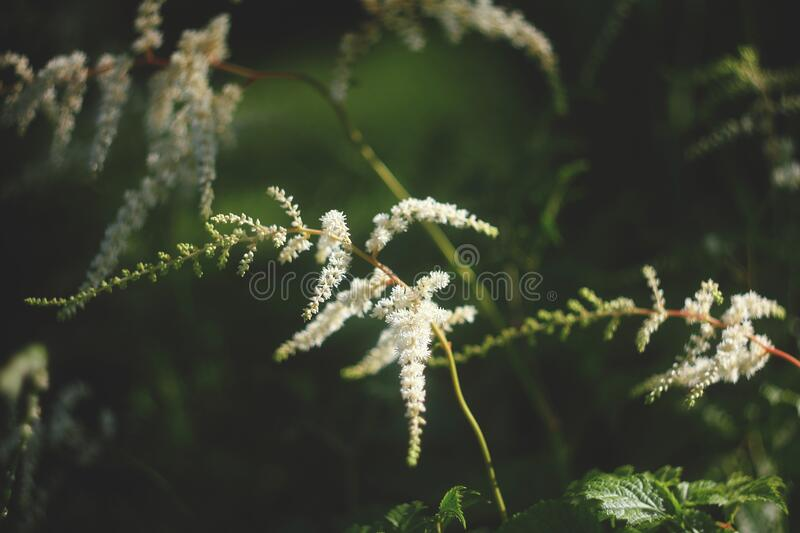 Plant astilbe white color. summer garden. beautiful blur background.  royalty free stock photography