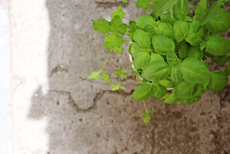 Plant basil stock photos