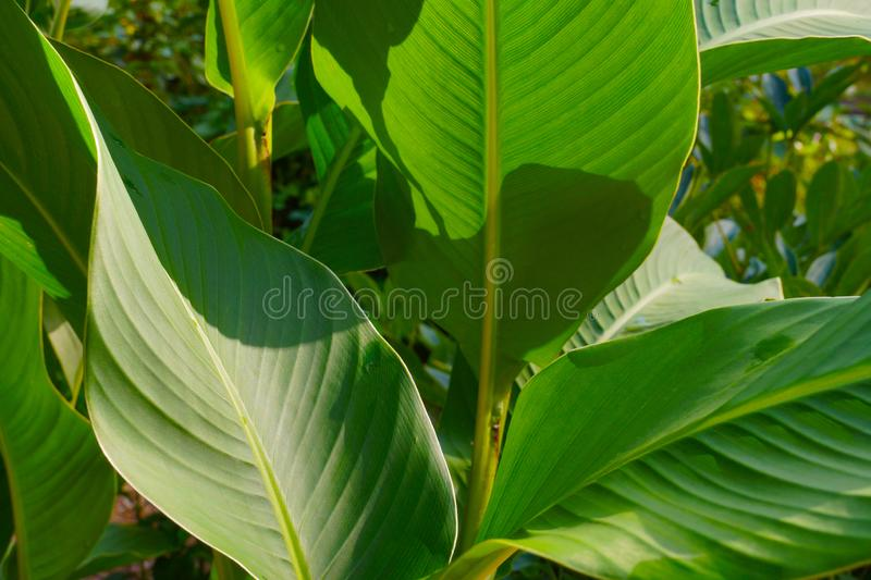 A plant with beautiful leaves. Canna indica, commonly known as Indian shot, African arrowroot, edible canna, purple arrowroot, stock image
