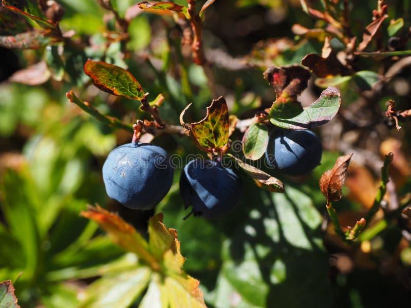 Plant, Berry, Fruit, Blueberry stock photo