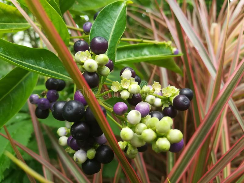 Plant, Berry, Fruit, Blueberry stock photos